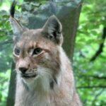 Luchs aus dem WildtierPark Edersee auf Freiersfüßen –  Nationalparkverwaltung bittet Bevölkerung um Mithilfe
