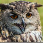 Eulen – lautlose Jäger der Nacht am 20. + 21.05.2017 im Tierpark Sababurg