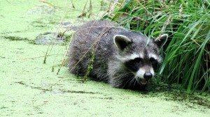 Junger Waschbär. (Foto: Wildtierpark Edersee)