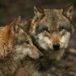 Nacht der Wölfe! Sababurger Wolfsnächte am 21. und 22. März 2015