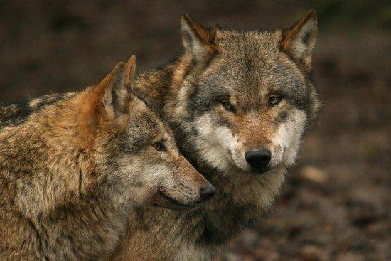 Wölfe im Tierpark Sababurg