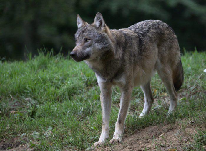 Der böse Wolf, Tierpark Sababurg