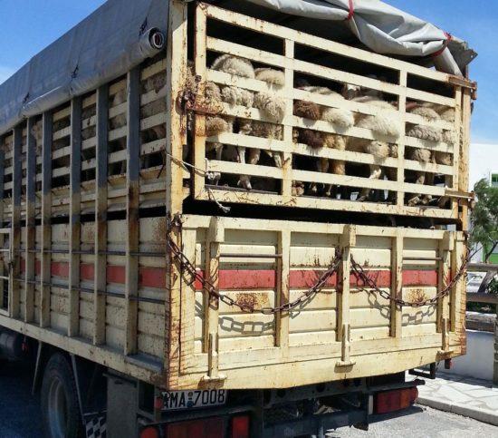 Tiertransporte: Tierrechtler fordern Verbot