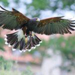 Sie fliegen wieder: Die Greifvögel im Tierpark Sababurg!