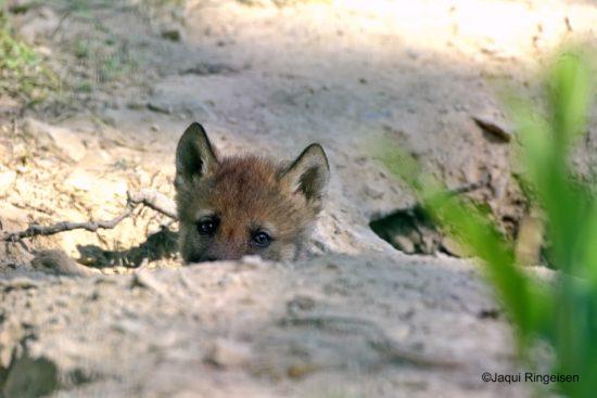 Nationalpark Kellerwald-Edersee: Wolfswelpen und Sonderausstellung!