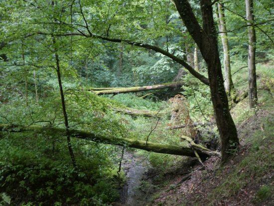 Deutsche Waldtage 2020: zwei Führungen im Nationalpark Kellerwald-Edersee