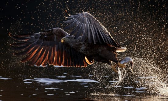 Hier siehst du das Gewinnerfoto der Kategorie »Glanzlichter-Naturfotograf*in 2020«. Ein Seeadler fängt im Flug einen Fisch.   (c) Varesvuo Markus
