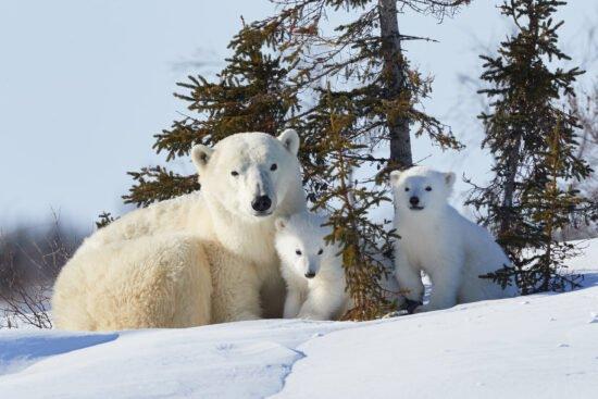 Die Naturfoto-Ausstellung »Glanzlichter 2020« im Naturkundemuseum Paderborn zeigt unter anderem diese Fotografie. Zu sehen ist eine Eisbärin mit zwei neugeborenen Jungen im Wapusk Nationalpark.   (c) Jaekel Wolfgang