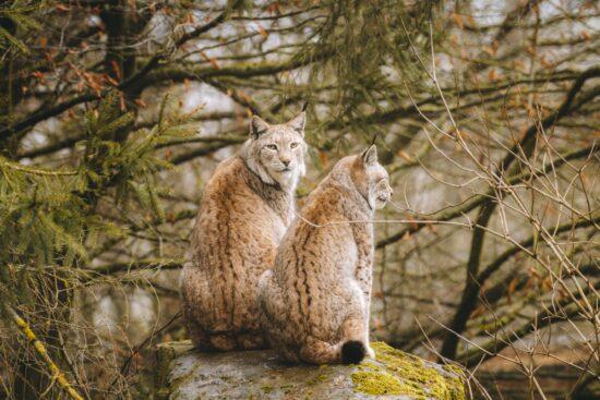 Auch die beiden Luchse Lutz und Salina, die ihr hier auf dem Foto seht, sind froh, dass der Tierpark Sababurg wieder geöffnet ist. Und freuen sich auf die Besucher*innen.   (c) Tierpark Sababurg
