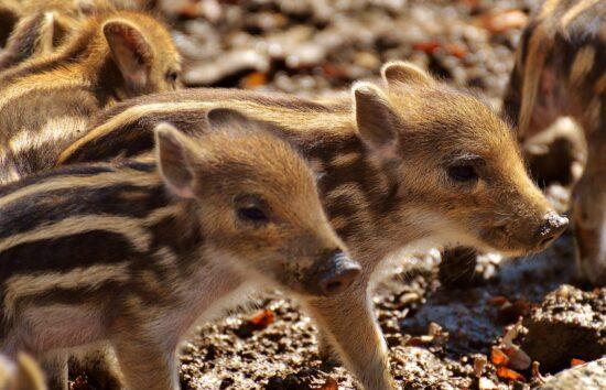 Die Wildschweine im WildtierPark Edersee haben Nachwuchs bekommen. Ab sofort können die niedlichen Frischlinge wieder besucht werden. | (c) Pixabay