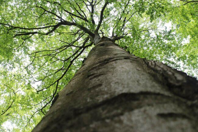 Zum ersten Mal in diesem Jahr bietet der Nationalpark geführte Wanderungen durch die urigen Buchen an. | Bildquelle: Nationalpark Kellerwald-Edersee