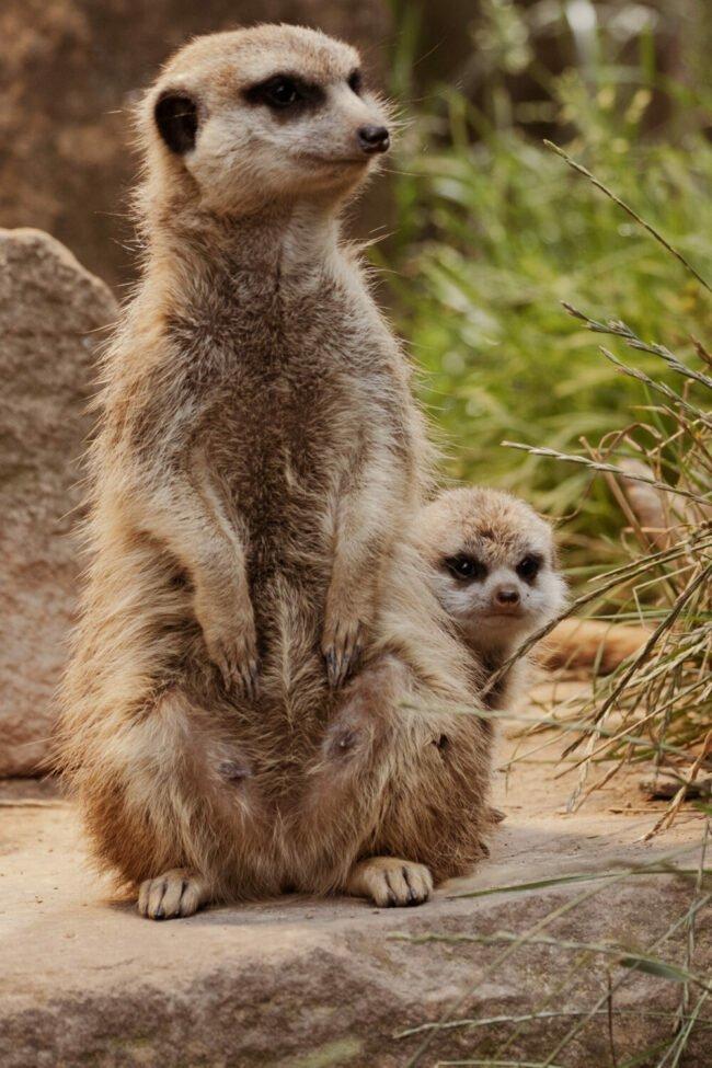 Die Erdmännchen waren und sind nicht nur bei den kleinen Besuchern immer sehr beliebt |  450 Jahre Tierpark Sababurg  | (c) Tierpark Sababurg