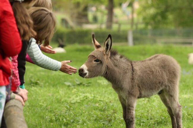 Seit 450 Jahre gibt es den Tierpark Sababurg jetzt bereits. Der kleine Esel fühlte sich 2020 offensichtlich recht wohl in diesem außergewöhnlichem Tierpark | Tierpark Sababurg - (c) David Selbert
