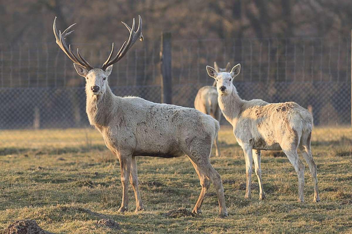 Hirschbrunft im Morgengrauen - Tierpark Sababurg - Hofgeismar