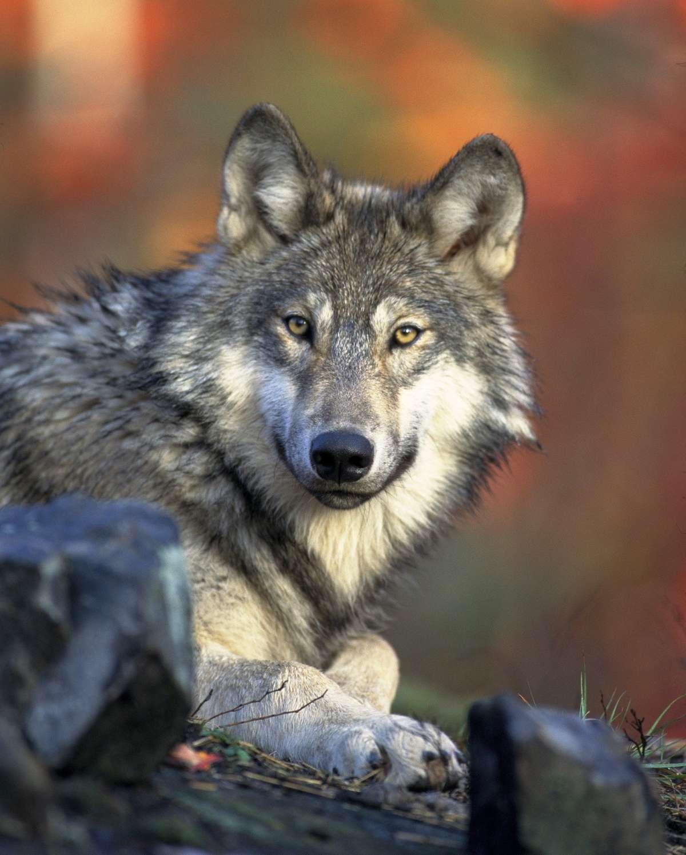 Wolfsnacht - Wildpark Knüll - Homberg (Efze)