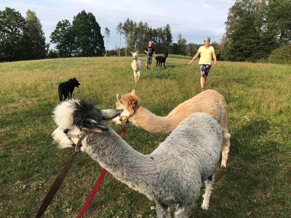Mit Alpakas zur Kaninchenapotheke -Kräuterwanderung mit Alpakas - Tier mit mir  - Spangenberg